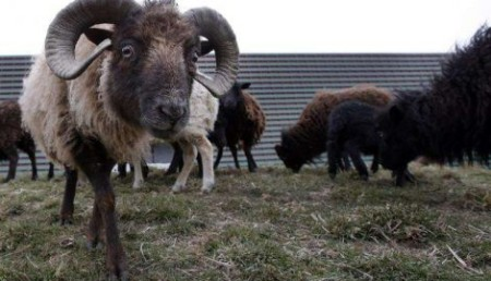 329475_francuska-ovce-sisaju-travnjake2-ap_f