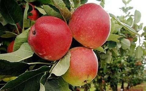 Неоргански узгојене јабуке.