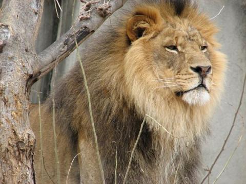 Лавови или магарци?